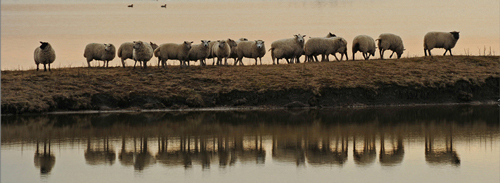 ledenactie-schapen-over-dam